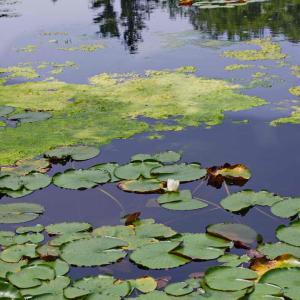 大船フラワーセンター(スイレン・ハス池)バーゴラのある休憩所からスイレン池をながめる