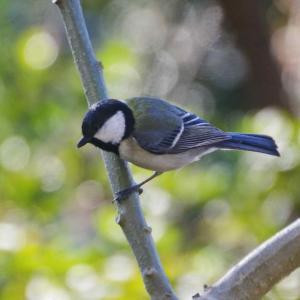 近所の小鳥たち(シジュカラ)日本の代表的な野鳥