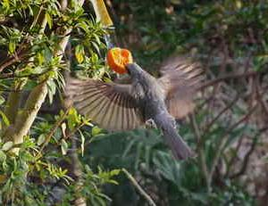 近所の小鳥たち(ヒョドリ)庭のミカンを独り占めでした