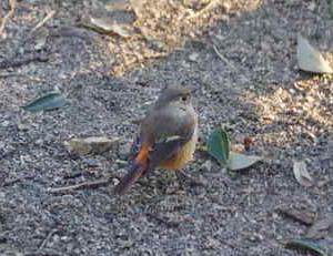 近所の小鳥たち(ジョウビタキ)庭に遊びに来ました