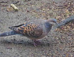 近所の小鳥たち(キジバト)庭で遊ぶキジバト