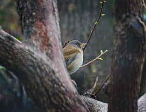近所の小鳥たち(シロハラ)可愛いお腹とクリットした目が可愛い