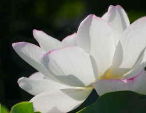 続 葉山の蓮(園芸品種の蓮の花が見られます)