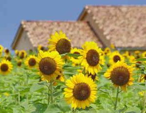 ソレイユの丘(ヒマワリフェスタ)10万本のヒマワリが咲き誇ります