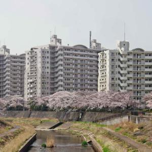 柏尾川(かしおがわ)お花見