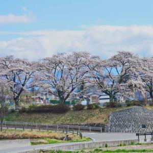 谷戸城址(やとじょうし)の桜