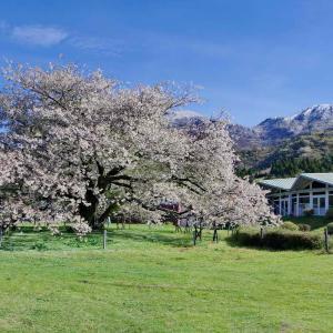 箱根芦ノ湖の1本桜