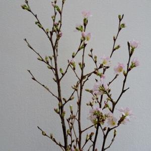 山形 啓翁桜 つづき