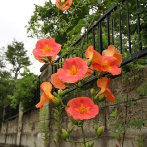 ご近所のお花・・・