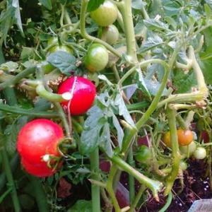 ミニトマトが実りました。