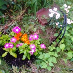 秋の花が見ごろになりました。紫陽花もまだ咲いてますが!