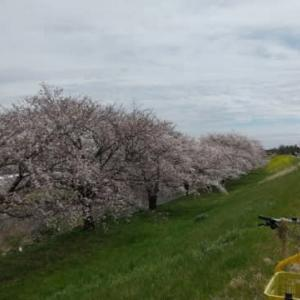 自転車で桜見物