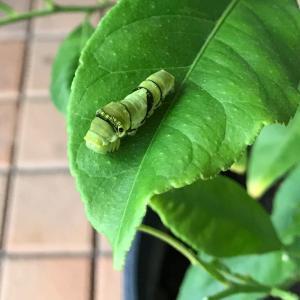 アゲハチョウの羽化 1  サナギになりました\( 'ω')/