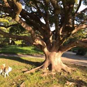 金木犀のお散歩