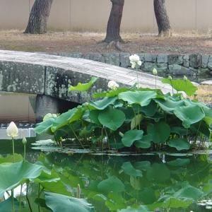 相国寺の蓮の花