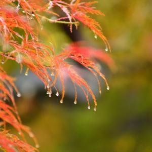 雨の枝垂れ紅葉♪