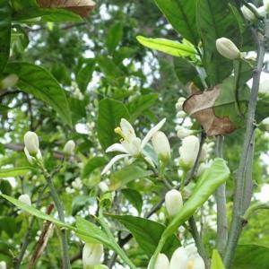 光が増す朝―蜜柑の花―