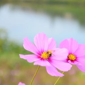 秋桜と戯れるカノン♪