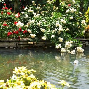 """""""日曜日の花園散歩♪(ピークを過ぎた薔薇の花)"""