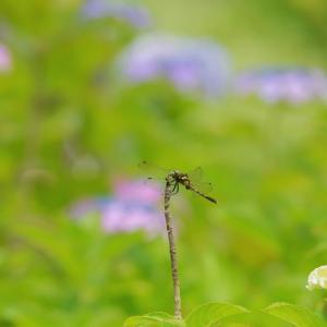 紫陽花の小径と夏の花
