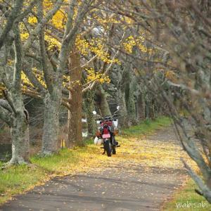 イチョウの落ち葉と、バイク写真☆YAMAHA SR125