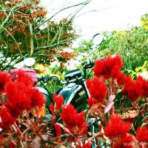 晩秋のケイトウと、バイク写真☆YAMAHA SR125