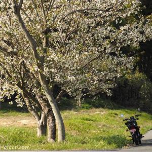 白い桜とバイク写真撮影を楽しむ