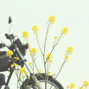 菜の花とバイク写真撮影☆自分好みの色合いを楽しむ