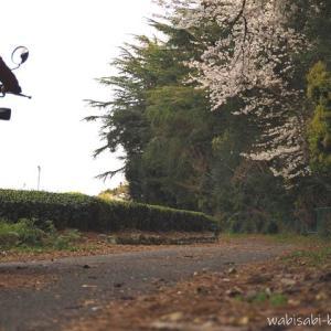 茶畑と桜☆バイク写真撮影を楽しむ