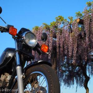 藤の花とバイク写真撮影☆里山の藤・観賞用の藤棚との比較