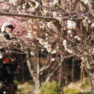 【里山バイク散歩】梅・早咲き桜・ホトケノザ・芽キャベツ