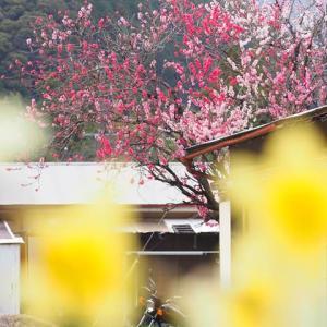バイクでソロ花見+写真撮影☆源平桃・桜ほか【大井川鐵道 大和田駅にて】