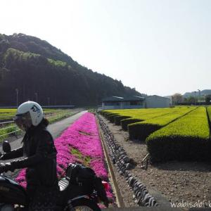 茶畑の新芽と芝桜★バイク写真自撮り中にバイクが傾き大慌て!