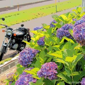 アジサイと、バイク写真☆YAMAHA SR125