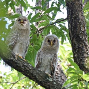 秋ヶ瀬公園のフクロウ Ural owl