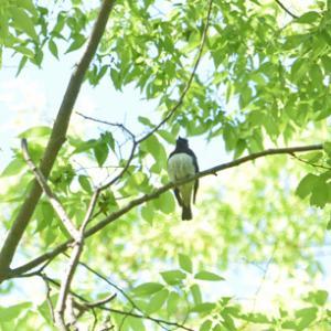 秋ヶ瀬公園のオオルリ Blue-and-White Flycatcher