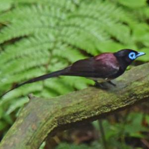 森林奥のサンコウチョウ Japanese Paradise Flycatcher