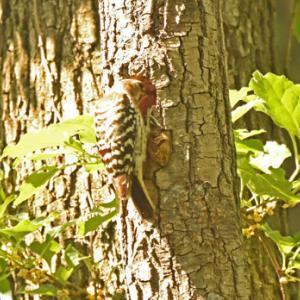 コゲラの営巣 Japanese Pygmy Woodpecker
