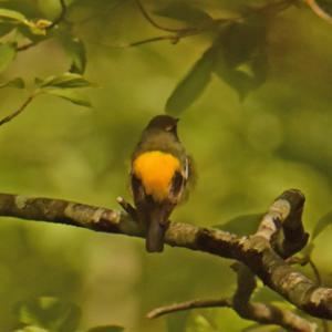 戸隠森林植物園のキビタキ Narcissus Flycatcher