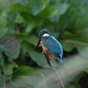 黒目川のカワセミの雄 Common Kingfisher