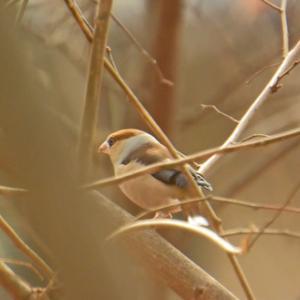 保存林のシメ Hawfinch