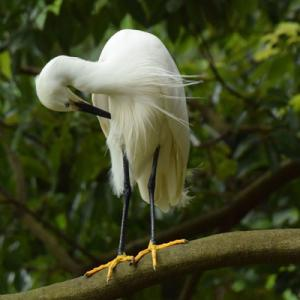 樹上のコサギ Little egret