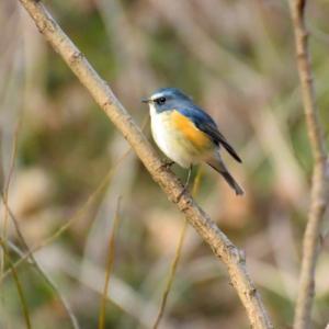 秋ヶ瀬公園のルリビタキ Red-flanked bluetail