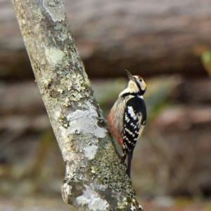 戸隠植物園のオオアカゲラ White-backed Woodpecker