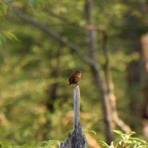早朝のミソサザイ Eurasian Wren
