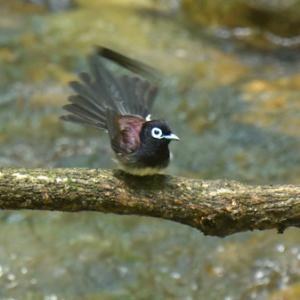羽繕いするサンコウチョウ Japanese Paradise Flycatcher
