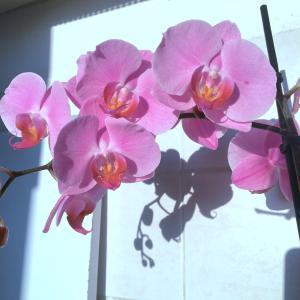 ★胡蝶蘭の花、過去最高に咲きまくる