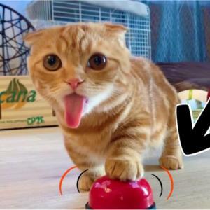 子猫のひな子が、初めて呼び鈴鳴らしにチャレンジ!【あにまる まま】