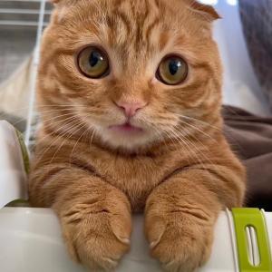 子猫が春カラーの新色リップを…【短足マンチカン ひな子】