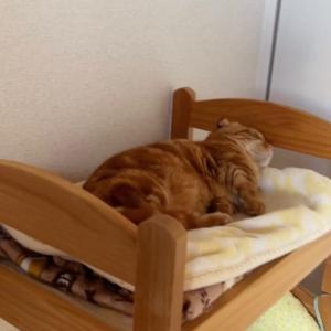 人間の子供のように子猫がベッドで寝坊します…【あにまる まま】